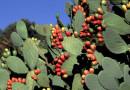 Ficodindia di Sicilia: tecniche colturali per il miglioramento qualitativo dei frutti