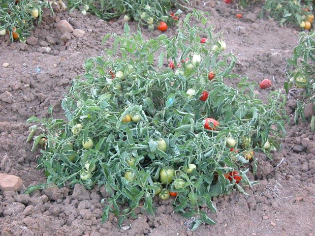Avviata attività di contenimento del nuovo virus che attacca le piante di pomodoro nel ragusano