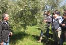 Come potare l'ulivo: allevamento a vaso policonico