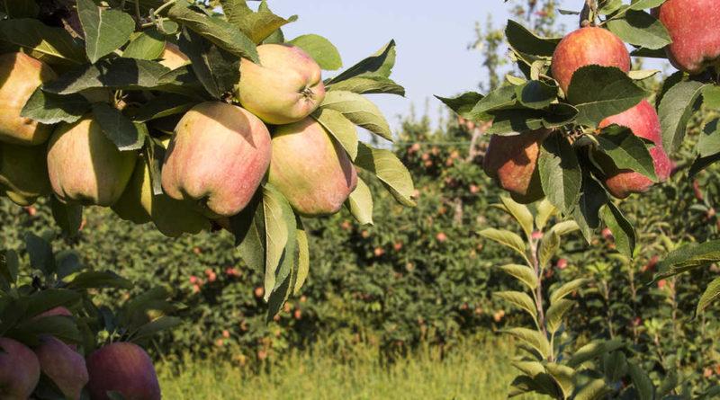 Frutteto Mele agricoltura