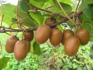 Actinidia Soreli su pianta