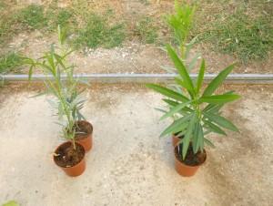 Fig.2- cabasite e sviluppo oleandro