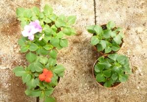 fig.1 - cabasite e sviluppo delle piante
