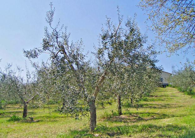 Come Potare Lulivo Allevamento A Vaso Policonico Sicilia Agricoltura