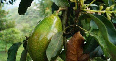 Avocado, come coltivarlo e le sue proprietà