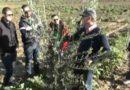 La corretta gestione della chioma dell'ulivo e del mandorlo