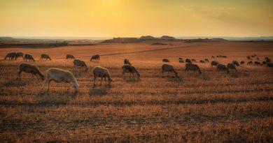 I numeri del settore ovino in Sicilia