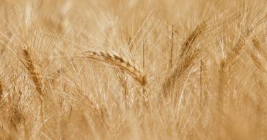 Prezzo del grano duro siciliano, primo stop dopo settimane di rialzo