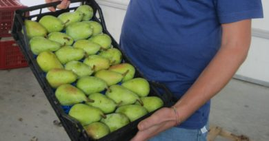 Pera coscia, il frutto suadente di Castronovo di Sicilia