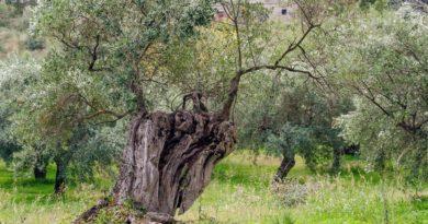 La concimazione dell'olivo